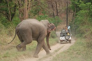 Asian Elephant at Corbett National Park 10.jpg