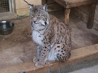 Eurasian lynx - Eurasian lynx at the Monte Kristo Estates zoo in Hal Farrug, Luqa, Malta.