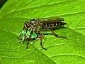 Asilidae - Stilpnogaster aemula preys Polydrusus sp.jpg