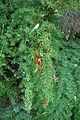 Asparagus aethiopicus fruit3 (11970781285).jpg