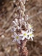 Asphodelus aestivus flowers.jpg