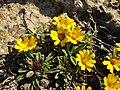 Astericus maritimus 6 (Espagne).JPG
