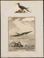 Atagen aquilus - 1700-1880 - Print - Iconographia Zoologica - Special Collections University of Amsterdam - UBA01 IZ18000195.tif