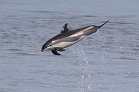 Atlantic white-sided dolphin.jpg