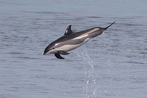 Atlantic white-sided dolphin - Image: Atlantic white sided dolphin