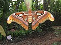 Attacus atlas - Atlas moth at Peravoor 2017 (14).jpg