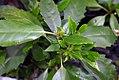 Aucuba japonica 0zz.jpg