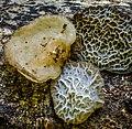 Auricularia delicata (Fr.) Henn 864126.jpg