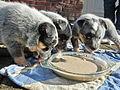 Australian Cattle Dog puppies 05.JPG