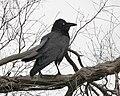 Australian raven (Corvus coronoides) - Lip Kee.jpg