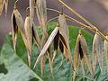Avena sativa black oat, zwarte haver (1).jpg