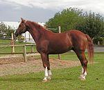 [Зображення: 150px-Avenger_-_Westphalian_horse.jpg]