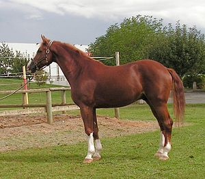 Chestnut (coat) - A chestnut horse with white markings.