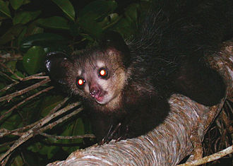 Last Chance to See (TV series) - The aye-aye's nocturnal habits make it difficult to see in the wild