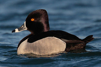 Ring-necked duck - Drake (male)