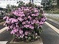 Azalea flowers on platform of Kashii Station.jpg