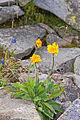 Babia Góra – Jastrzębiec alpejski (Hieracium alpinum).jpg