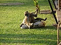 Baboons on the lawn - panoramio (10).jpg