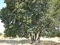 Baikiaea plurijuga arbre MHNT.JPG