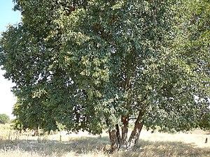 Baikiaea plurijuga - Tree in Namibia