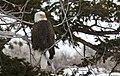 Bald eagle (8534911254).jpg