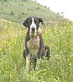 Balia, Suliot Dog.JPG
