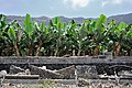 Banana plantations all along the south-western shores of La Palma (Canary Islands 2015, Puerto Naos, GPS) - panoramio.jpg