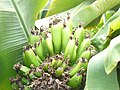 Bananas Growing in Aberdeen - geograph.org.uk - 1479027.jpg