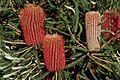 Banksia brownii shrubby.jpg