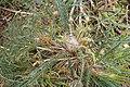 Banksia nivea kz02.jpg