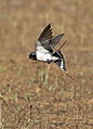 Barn swallow, Hirundo rustica, at Suikerbosrand Nature Reserve, Gauteng, South Africa (23292367191).jpg
