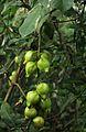 Barringtonia racemosa01.jpg