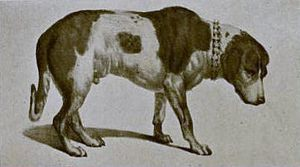 Alpine Spaniel - A drawing of the stuffed body of Barry, a dog owned by the Great St Bernard Hospice around 1800 prior to the modifications made in 1923.