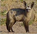 Bat-eared Fox (Otocyon megalotis) (cropped).jpg