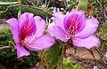 Bauhinia variegata kz2.JPG