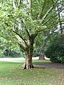 Baum im Farwickpark - panoramio (1).jpg