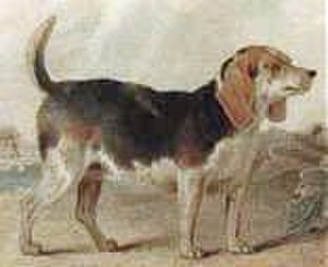 Beagle - This image from the turn of the 19th century shows a dog with a heavier body and lacking the features of later strains.