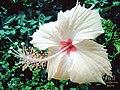 Beauty of a Chinarose.jpg