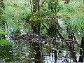 Beaver dredging - geograph.org.uk - 1452021.jpg