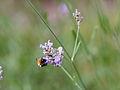 Bee on flower (9516927957).jpg