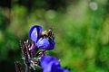 Bee pollinating flower (5797724005).jpg