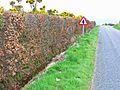 Beech hedge near Port of Spittal - geograph.org.uk - 316952.jpg