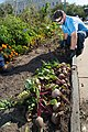 Beet Harvest (37726706696).jpg