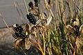 Belamcanda chinensis 8zz.jpg