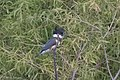 Belted Kingfisher (female) Slaughter Ranch AZ 2017-09-27 14-30-21-2 (37710713902).jpg