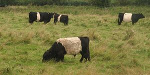 Belted Galloway - Several Belted Galloways