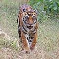 Bengal tiger (Panthera tigris tigris) female 2.jpg