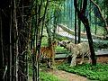 Bengali tigers in hydrabad.jpg