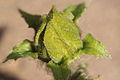 Benincasa pruriens in Guangfeng 2012.10.27 12-43-49.jpg