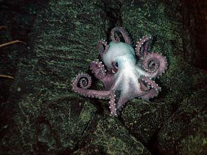 Octopodidae - Benthoctopus sp.